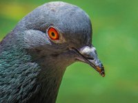 głowa gołębia